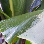 Nasses Palmenblatt